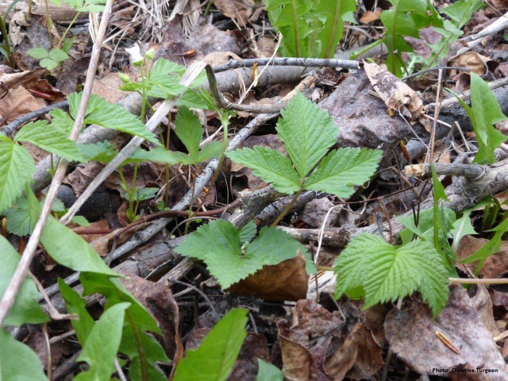 Catherinette sauvage Fabien Girard Secrets de Plantes